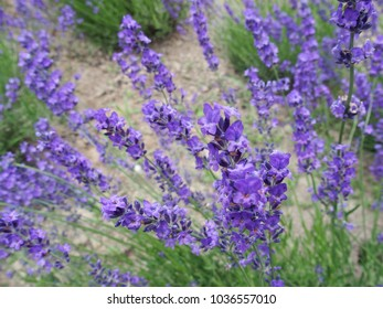 lavender in a park