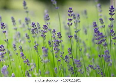 lavender plant flower field nature close detail