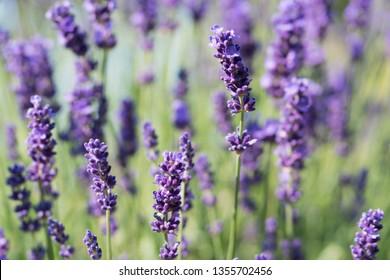 Lavender Plant Flowering