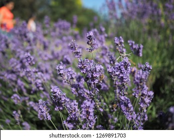 Lavender plant in the sun being pollinate by honey bees and hoverflies