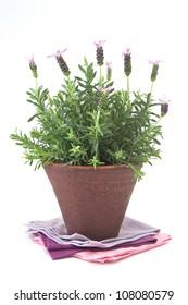 Lavender plant in a terracotta pot