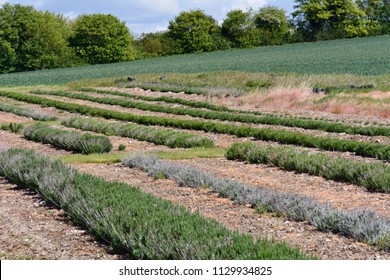 Lavender plants growing in rows on farm