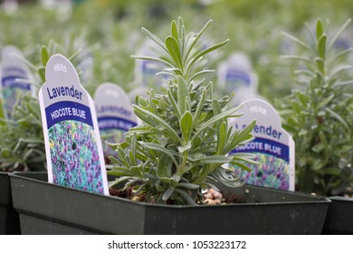 Lavender plugs being grown out in greenhouse - macro