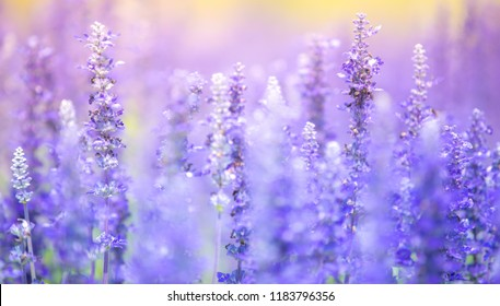 Lavender purple flowers blossom