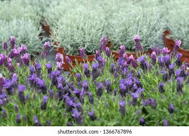 Lavender purple flowers closeup Lavendula officinalis. Spring garden series, Mallorca, Spain.