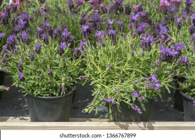 Lavender purple flowers closeup Lavendula officinalis on rustic wood. Spring garden series, Mallorca, Spain.
