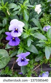 Lavender and purple pansies
