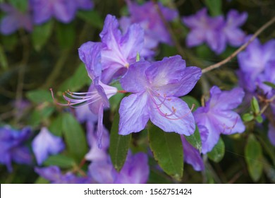 Lavender Rhododendrons flowers in bloom