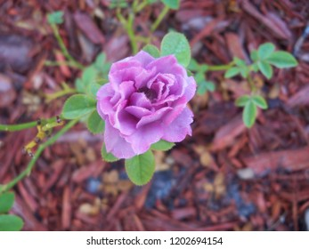 Lavender rose in the morning dew