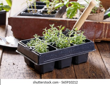 Lavender seedlings in pots. Young sprouts ready for planting. Gardening concept.