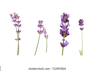 Lavender set isolated on white background. Purple blooming flowers in different shapes and forms.