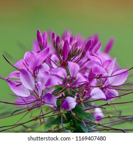 Lavender Spider Flower, Cleome