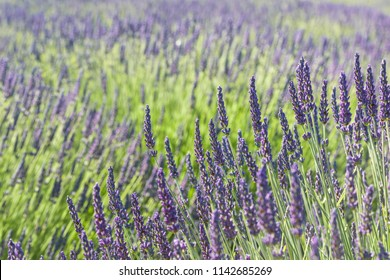 Lavender spikes blossom in a field.