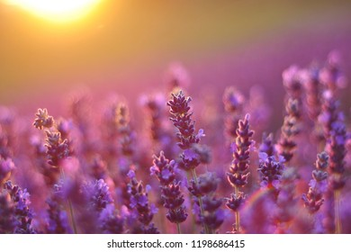 Purple flower background images stock photos vectors shutterstock lavender in sunset mightylinksfo
