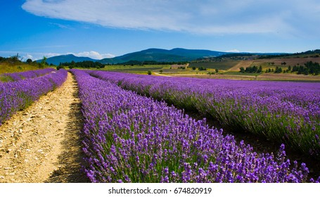 Lavender time in Provence in summer