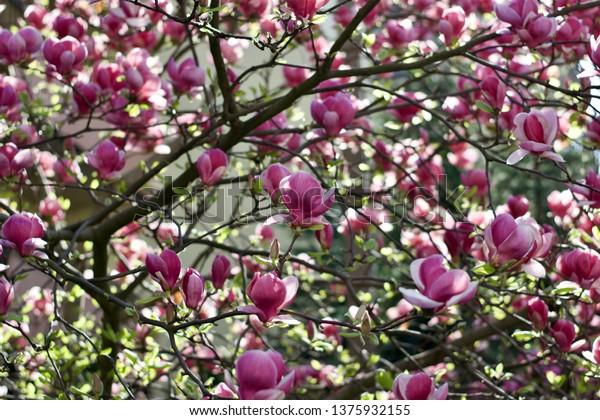 Lavender tree flowers
