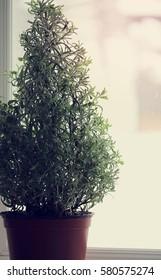 Lavender Tree in Window Sill