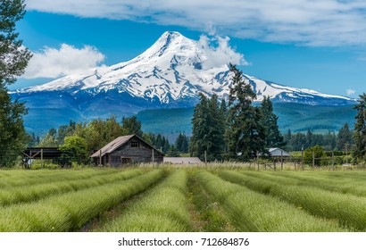 Lavender Valley in Hood River with Mt Hood in the Background