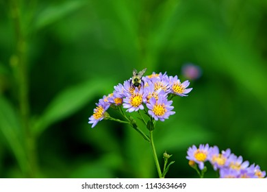 Lavender violet Jindai Aster (a tatarian aster, aster tataricus) flowers with bumblebee macro, isolated, blurred green background.