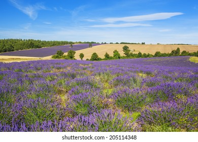 Lavender and wheat field with tree in Provence, France