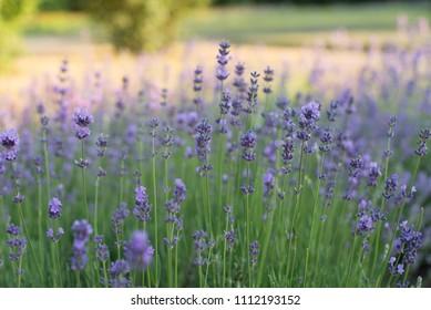 Lavender - wild growing