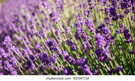 lavenders in Hokkaido Japan