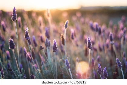 Lavenders at sunset light, closeup