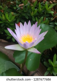 Laver lotus with green leaf
