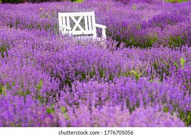 lawn chair in lavender field.