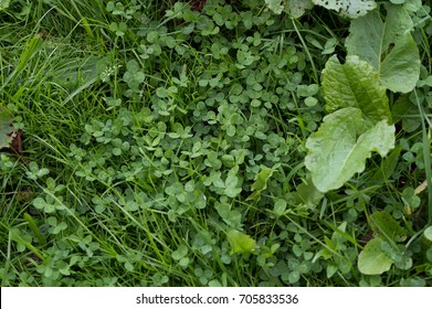 Lawn from clover with grass