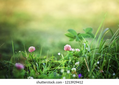 lawn with clover at sunrise