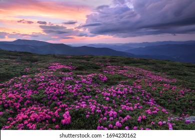 A lawn covered with flowers of pink rhododendron. Scenery of the sunrise at the high mountains. Dramatic sky. Amazing summer day. The revival of the planet. Location Carpathian, Ukraine, Europe.
