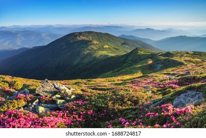 From the lawn covered with pink rhododendrons the picturesque view is opened to high mountains, valley, blue sky in summer time. Concept of nature rebirth. Location Carpathian, Europe.