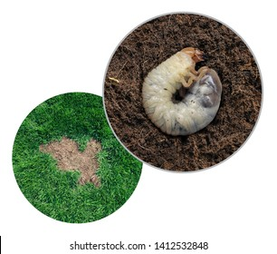 Lawn grub damage as chinch larva damaging grass roots causing a brown patch disease in the turf as a composite image isolated on a white background.
