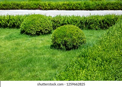 Lawn with oval-shaped bushes and a square in the form of a hedge, green plants.