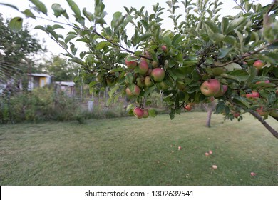 The lawn with pear trees and apple trees. View from the window of the house.