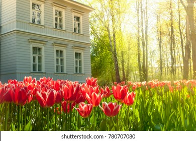 Lawn of red tulips, wooden house and  garden with trees on a sunny spring morning