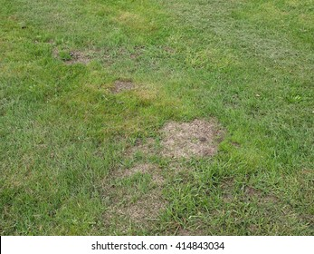 Lawn repairing by overseeding grass on places damaged by mole hills.