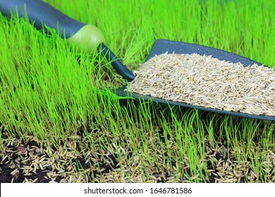 Lawn Seeds On A Garden Trowel Resting On Germinating Grass.