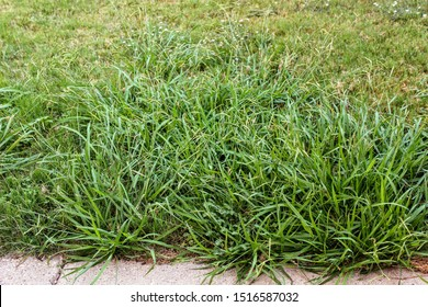 Lawn taken over by crabgrass weeds.