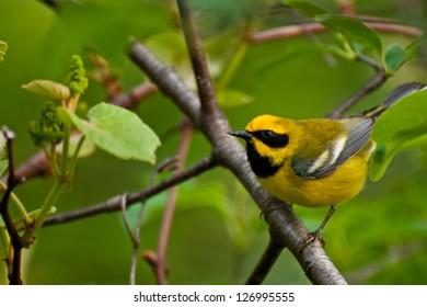 Lawrence's Warbler Hybrid