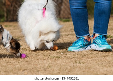 Lawrenceville, GA / USA - March 24, 2018:  Two dogs sniff plastic easter eggs that contain doggy treats at the Dog Gone Egg Hunt on March 24, 2018 in Lawrenceville, GA.