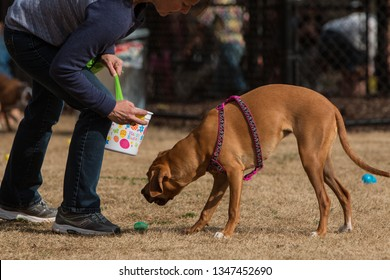 Lawrenceville, GA / USA - March 24, 2018:  A dog owner and her dog pick up plastic easter eggs filled with dog treats  at the Dog Gone Egg Hunt on March 24, 2018 in Lawrenceville, GA.