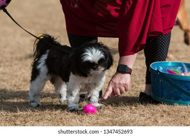 Lawrenceville, GA / USA - March 24, 2018:  A dog owner points her curious dog to a plastic egg filled with a doggy treat at the Dog Gone Egg Hunt on March 24, 2018 in Lawrenceville, GA.