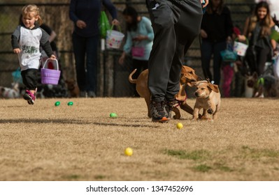 Lawrenceville, GA / USA - March 24, 2018:  Dogs and their owners run to find plastic easter eggs filled with dog treats at the Dog Gone Egg Hunt on March 24, 2018 in Lawrenceville, GA.