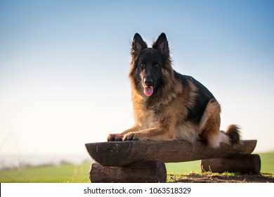 Lay down german shepherd dogon wooden chair in spring