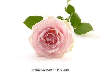 lay down l fresh pink rose