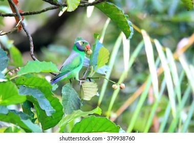 Layard's Parakeet (Psittacula calthropae) in Sinharaja Forest Reserve ,Sri Lanka