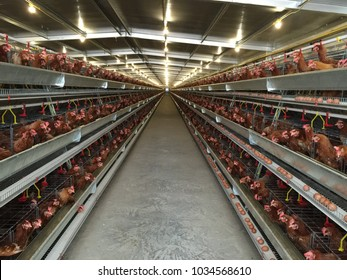 Layer Farm housing, Egg Hatchery or Chicken Eggs tread by chicken coop in agriculture chicken business before sent to egg processing