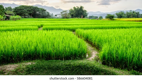 Layer of green rice farm with mountains and mist at Pai, Maehongson, Thailand